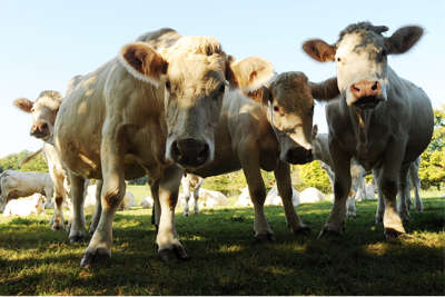 Image of Charolais cows